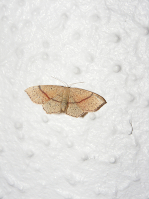 Maiden's Blush Moth