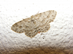 The Engrailed?