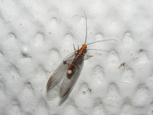 Black Lacewing