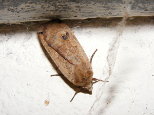 Large Yellow Underwing Moth