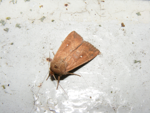 White-point Moth
