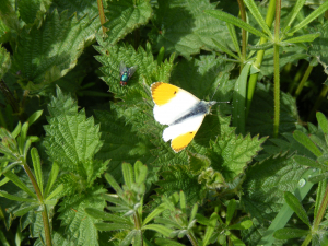 Orange Tip & fly