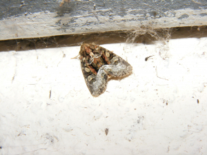 Marbled White Spot Moth
