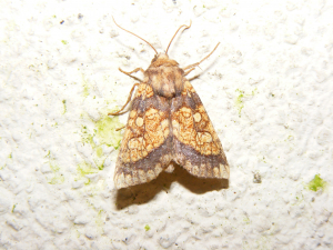 Frosted Orange Moth