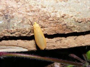 Orange Footman Moth (Eilema sororcula)