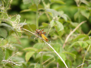 Broad-bodied Chaser Dragonfly (Libellula depressa)