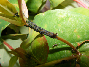 Aphids & Ants