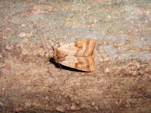 Ingrailed Clay Moth (Diarsia mendica)