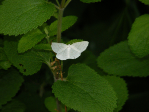 Common White Wave Moth (Cabera pusaria)