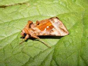 Plain Golden Y Moth (Autographa jota)
