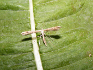 Common Plume Moth