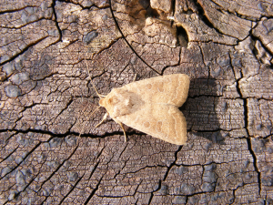 Uncertain Moth (Hoplodrina alsines)