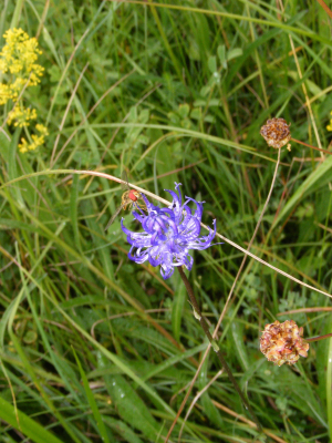 Round Headed Rampion and hoverfly