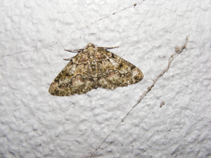 Brussels Lace Moth (Cleorodes lichenaria)