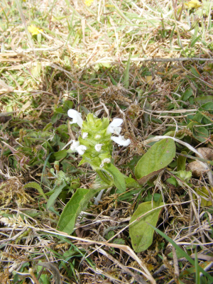 White Self Heal