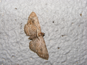 The Fern Moth (Horisme tersata)