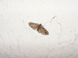 Double-striped Pug Moth