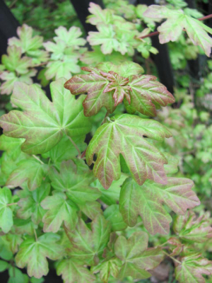 Field Maple