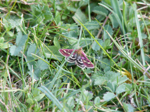 Small Purple & Gold Moth (Pyrausta purpuralis) 23.4.11.Bulford Ranges,Salisbury Plain