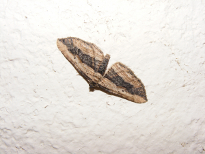Small Waved Umber