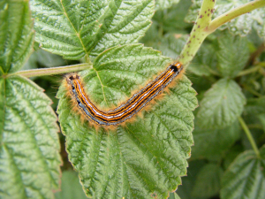 Lackey Moth Caterpillar