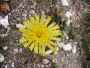 Mouse ear Hawkweed