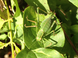 Southern Oak Bush Cricket in Oxford