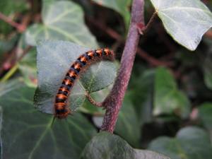 Small Orange and Black Caterpillar