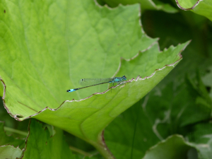 Scarce Blue-tailed Damselfly Male