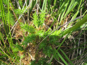 Is this a club moss?