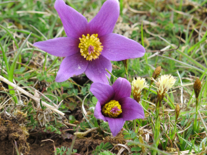 Pasque Flowers near Barnsley, Glos