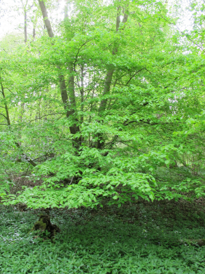 Coppiced Large Leaved Lime