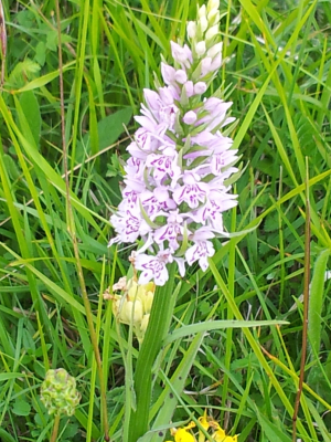 V. Large Common Spotted Orchid