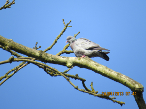 Stock Dove with young