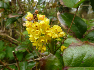 Oregon-grape (Mahonia aquifolium) (1)