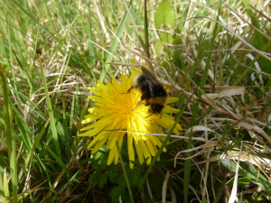 Four-coloured Cuckoo Bumblebee