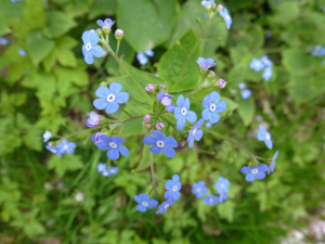 Great Forget-me-not