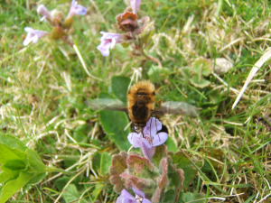 Bee-fly - poss. Bombylius major