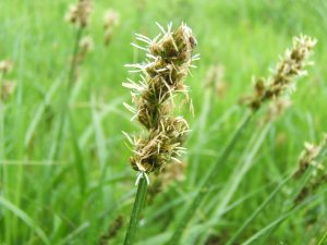 True Fox Sedge (Carex vulpina) - possible!!