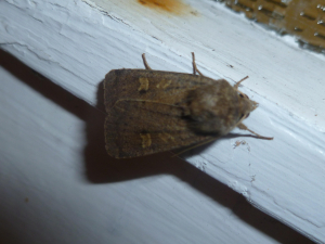 noctuid moth 3