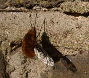 Bee-fly