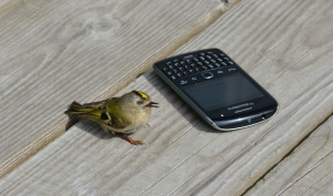 Goldcrest injured