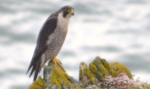 Peregrine on watch