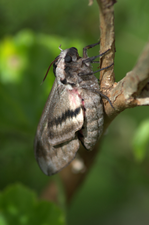 Emerging Moth/Butterfly