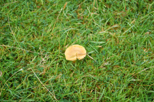 Yellow 'turned up' fungus