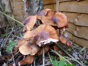 mushrooms at base of dead lilac