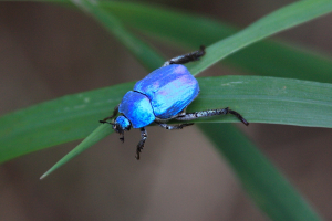 Bright Blue Beetle