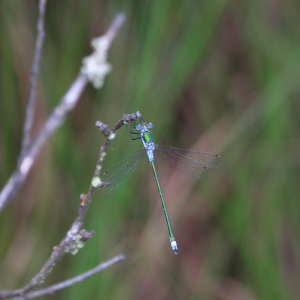 Scarce Emerald Damselfly?