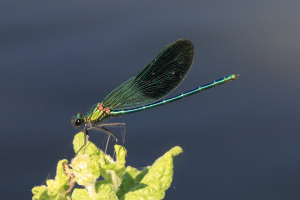 Difficult Male Demoiselle