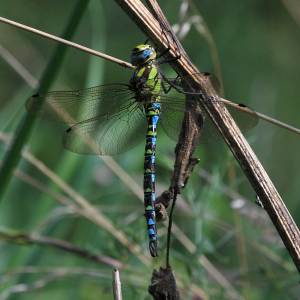 Southern Hawker at rest